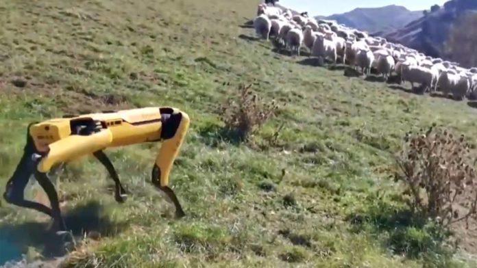 robot ovejas